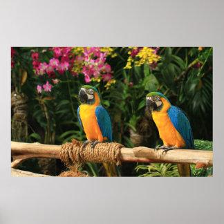 青および黄色のコンゴウインコポスター ポスター