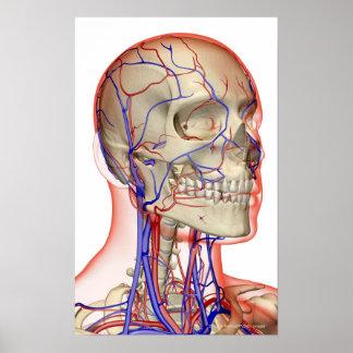頭部および首の動脈そして静脈 ポスター