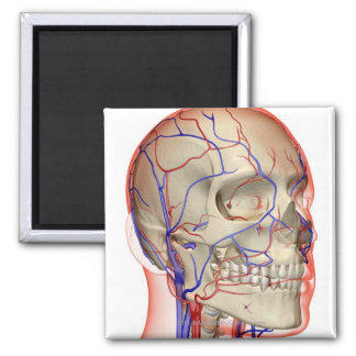 頭部および首の動脈そして静脈 マグネット