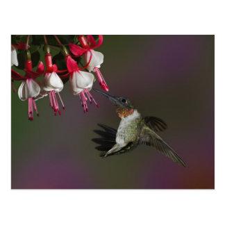 飛行中のオスのルビーthroatedハチドリ。 ポストカード