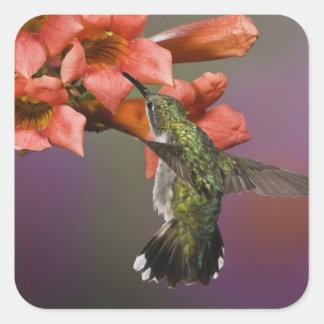 飛行中のメスのルビー色のThroatedハチドリ、 スクエアシール