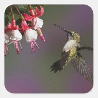 飛行中のメスのルビー色のthroatedハチドリ。 スクエアシール