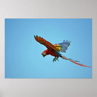 飛行中の深紅のコンゴウインコ ポスター