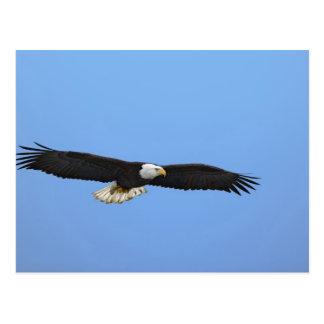 飛行中の白頭鷲、ホーマー、アラスカ、Haliaetus ポストカード