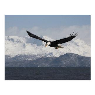 飛行中の白頭鷲、Haliaeetusのleucocephalus、 ポストカード