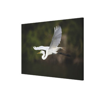 飛行中の素晴らしい白鷺、Casmerodiusのalbus、 キャンバスプリント