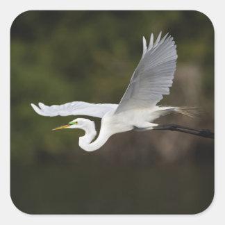 飛行中の素晴らしい白鷺、Casmerodiusのalbus、 スクエアシール