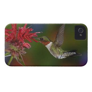 食べ物を与えているオスのルビーthroatedハチドリ Case-Mate iPhone 4 ケース