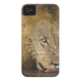 飲んでいるオスのライオンKrugerのすばらしい国民 Case-Mate iPhone 4 ケース