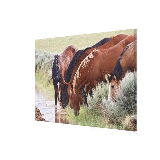 飲んでいる野生の馬のEquusのcaballusの)群れ キャンバスプリント
