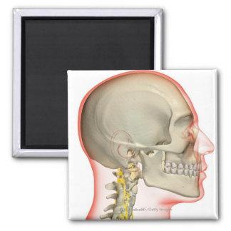 首の神経のレンダリング マグネット