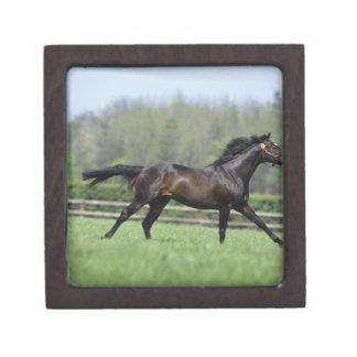 馬のサラブレッド、Wassl 1988年、 ギフトボックス