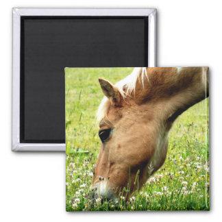 馬の磁石を牧草を食べること マグネット