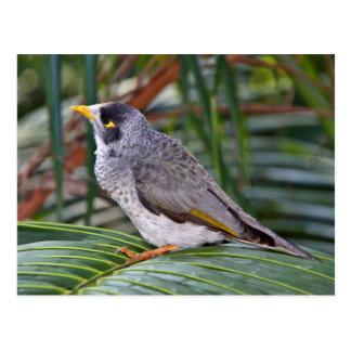 騒々しい抗夫の鳥、アデレード、オーストラリア ポストカード