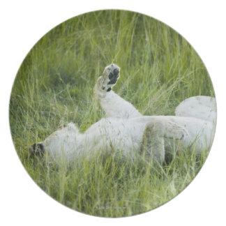 高い草のライオンの圧延、アフリカ プレート