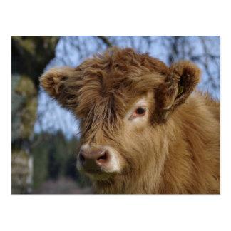 高地の子牛の郵便はがき ポストカード