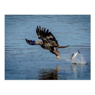 魚を落としている未熟な白頭鷲 ポストカード