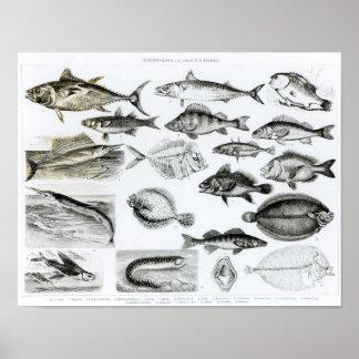 魚類学のOsseous魚 ポスター