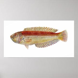 魚-マオリのベラ- Ophthalmolepisのlineolatus ポスター