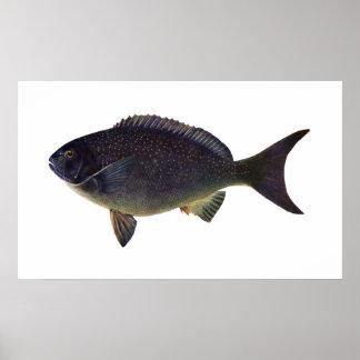 魚- Bluefish - Girellaのcyanea ポスター