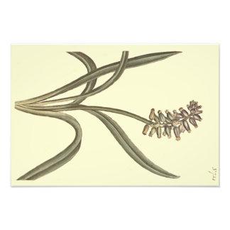 麝香のムスカリの植物の絵 フォトプリント