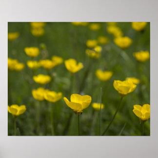 黄色いキンボウゲの花 ポスター