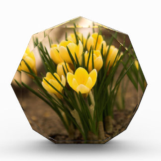 黄色いクロッカスは最初に花はねます 表彰盾