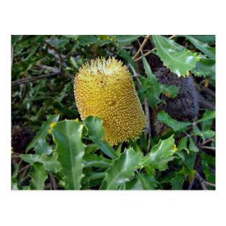 黄色いバンクシアの花 ポストカード