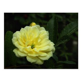 黄色いバンクシアバラの郵便はがき ポストカード