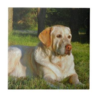 黄色いラブラドル・レトリーバー犬 タイル
