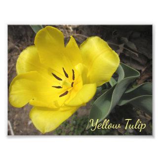 黄色い春のチューリップのマクロ標準的な写真 フォトプリント