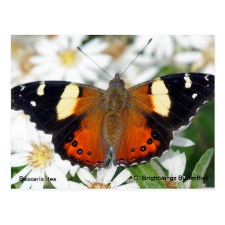黄色い海軍大将の蝶 ポストカード
