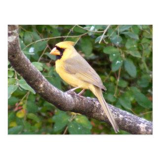 黄色い(鳥)ショウジョウコウカンチョウ ポストカード