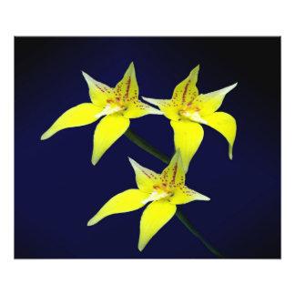 黄色いCowslipのオーストラリアの蘭の花 フォトプリント