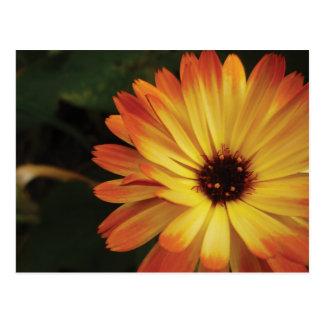 黄色およびオレンジポットマリーゴールド ポストカード