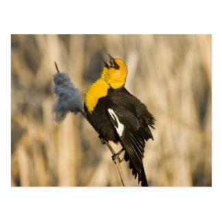 黄色はネコヤナギで歌っているクロドリの先頭に立ちました ポストカード
