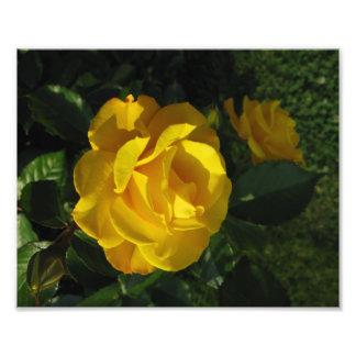 黄色バラ フォトプリント