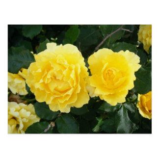黄色バラ ポストカード