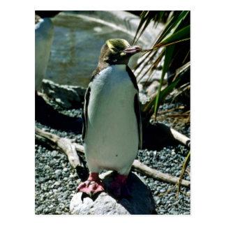 黄色目のペンギン ポストカード
