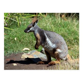 黄色足の石ワラビー、オーストラリア ポストカード