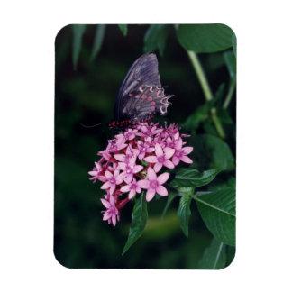 黒いアゲハチョウの蝶 マグネット