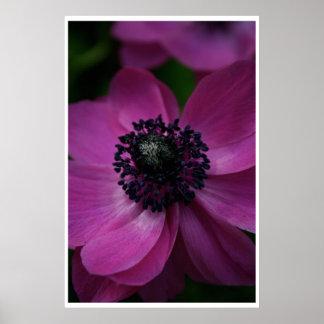 黒いハートのピンクのアネモネポスター1 ポスター