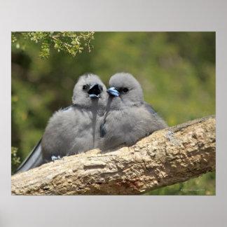 黒はWoodswallowのArtamusのcinereusに直面しました、 ポスター
