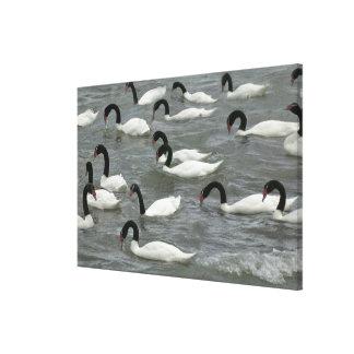 黒ネックの白鳥(白鳥座のmelancoryphus) キャンバスプリント