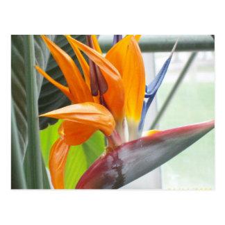 100_0344Postcard---極楽鳥 ポストカード