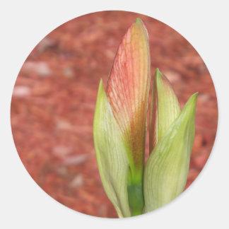 102aアマリリスのAppleの花の芽 ラウンドシール