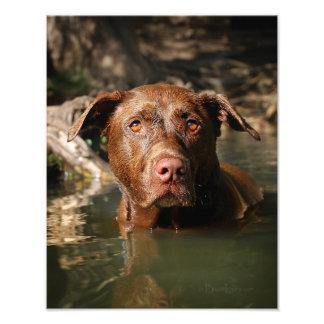 12を泳いでいるチョコレート実験室ピットの組合せ犬 フォトプリント