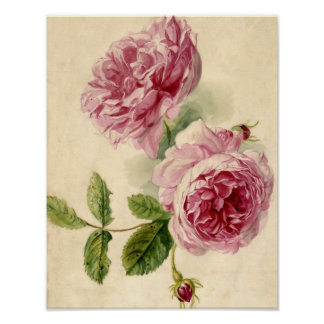 18世紀なピンクのバラの勉強 ポスター