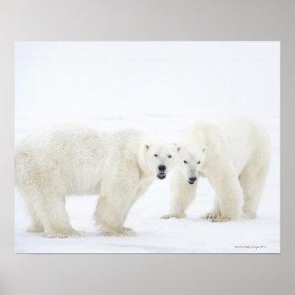 2つを遊んだ後雪に立っている白くま ポスター