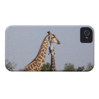 2キリン、Krugerの国立公園、南アフリカ共和国 Case-Mate iPhone 4 ケース